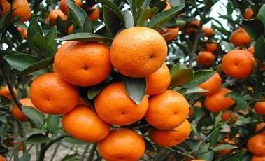 广西客户赵先生柑橘种植基地